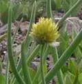 Allium_sp