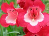 Penstemon x hartwegii_Scarlet Queen