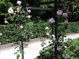 Плетистая роза Hagoromo (Keisei Rose Nursery)_1970 год
