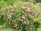 Rosa californica plena_1894