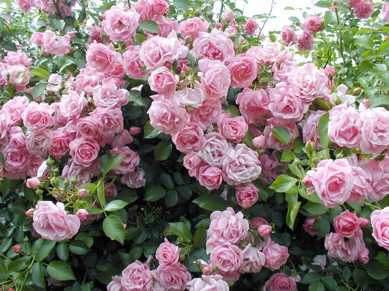 Фото самые красивые розы 5